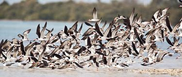 Black Skimmers Royalty Free Stock Photo