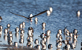 Black Skimmers Stock Image
