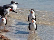 Black Skimmers Royalty Free Stock Photos