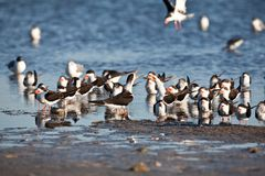 Black Skimmers Royalty Free Stock Images