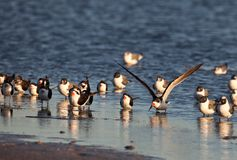 Black Skimmers Royalty Free Stock Photography