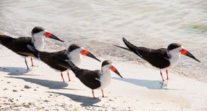 Black Skimmers Stock Photography