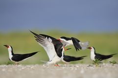 Black Skimmers  fight Stock Photography