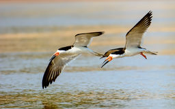 Black Skimmers in flight Royalty Free Stock Photo