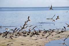 Black Skimmers flying along shore Stock Image