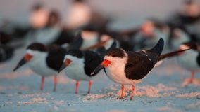Black Skimmers in a row, Florida, United States. Black Skimmers in a row (Rynchops niger), Florida, United States stock photo