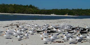 Black skimmers  and royal terns Royalty Free Stock Photo