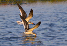 Black skimmers (Rynchops niger) fishing at sunset Stock Photography