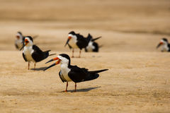 Black Skimmers on Sand Stock Photo