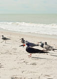 Black skimmers with seagulls at a beach Royalty Free Stock Photo