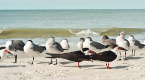 Black skimmers with seagulls at a beach Stock Images