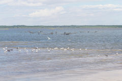Black Skimmers, Seagulls and Brown-hooded Gull at Lagoa do Peixe royalty free stock photography