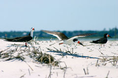 Black Skimmers Stock Photos