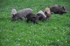 Black Slavonian pigs Royalty Free Stock Photo