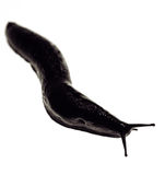 Black slug snail Royalty Free Stock Photo