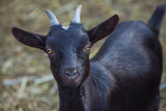 Black, small, beautiful, horned goatling walks into a barn for livestock. Stock Photo