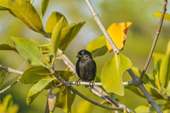 Black Small Bird Tree, Galapagos, Ecuador royalty free stock photography