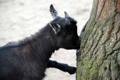 Black Small Cub Goat Female Capra Aegagrus Hircus Eating Crust stock photo