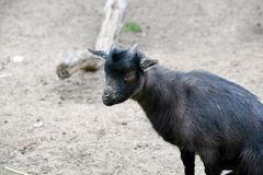 Black Small Cub Goat Female Capra Aegagrus Hircus Sitting royalty free stock image