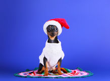 Black small dog in a hat of Santa Claus. Cute puppy in a white knitted jacket. New Year card. Royalty Free Stock Photos