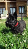 Black small dog Stock Photography