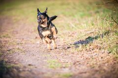 Dog run in meadow. Black small dog run in meadow, summer time royalty free stock image