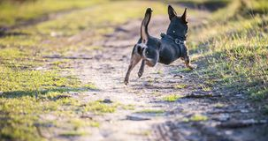 Dog run in meadow. Black small dog run in meadow, summer time stock images