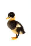 The black small duckling Royalty Free Stock Image