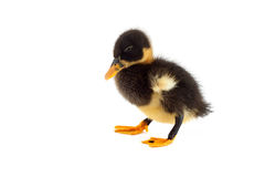 The black small duckling Stock Photos