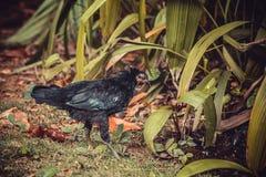 Black small hen Stock Photo