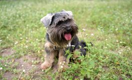 Black small mixed breed dog smiling and sitting on the flower field stock photos