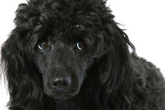 Black small poodle Royalty Free Stock Images