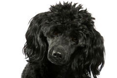 Black small poodle stock image