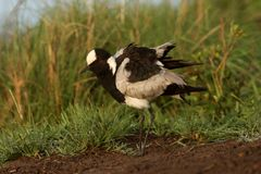 Black-Smith Lapwing Stock Photos