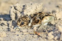 Black-Smith Plover - African Wild Bird Background - Camouflaged Baby Chicks Stock Image