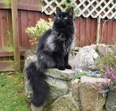 Black Smoke Maine coon cat. Longhaired cat sitting on a stone wall Royalty Free Stock Photography