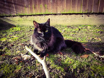 Black smoke mainecoon cat playing with branch in garden Royalty Free Stock Photography