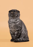 Black smoke scottish fold kitten on light brown background Stock Photos
