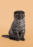 Black smoke scottish fold kitten on light brown background Royalty Free Stock Photography