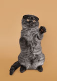 Black smoke scottish fold kitten on light brown background Stock Images