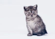 Black smoke scottish straight kitten Stock Images