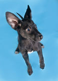Black smooth coat puppy with long ears jumping on blue Stock Photos
