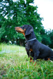 Black smooth-haired dachshund sitting in the green grass. Outdoors Royalty Free Stock Images