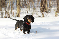 Black smooth-haired dachshund. Young black smooth-haired dachshund hunting in winter forest Stock Photography