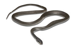 Black Snake Stock Photo