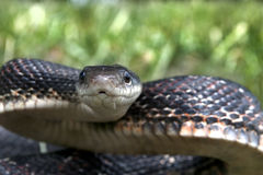 Black Snake Stock Image