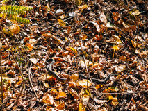 Black snake adder in dry leaves in the forest. In autumn Royalty Free Stock Photography