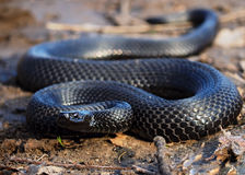 Black snake at forest at leaves creeps to camera Stock Photos