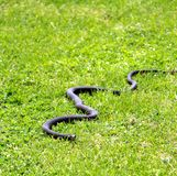 Black snake out in the grass stock images