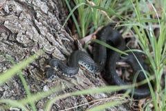 Black Snake. At riverside on a tree Royalty Free Stock Photo